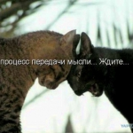 tn_коты бодаются