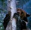 медведь за сосной