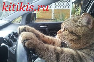 котяра за рулём
