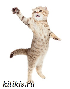 кот сангвиник