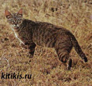 степная кошка
