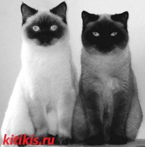 01 два сиамских кота