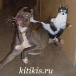 кот пинает собаку