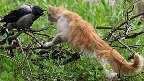 рыжий кот и ворона