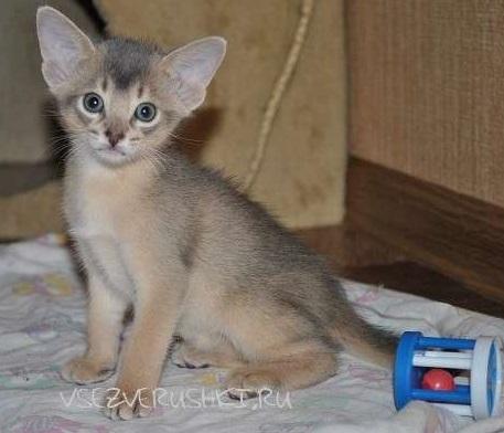голубой котёнок