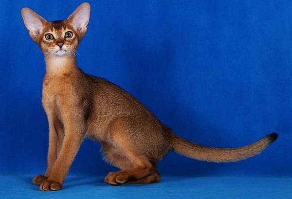 на голубом фоне кошка