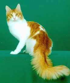 пятнистая ангорская кошка