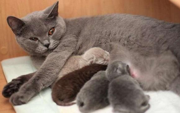 британская короткошёрстая кошка с котятами
