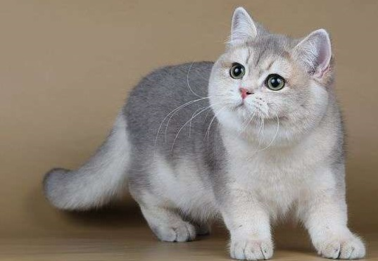 британская короткошёрстая кошка