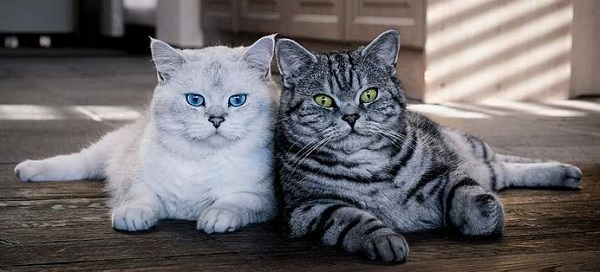 два британских короткошёрстых кота