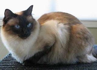 балинезийская-кошка-главная