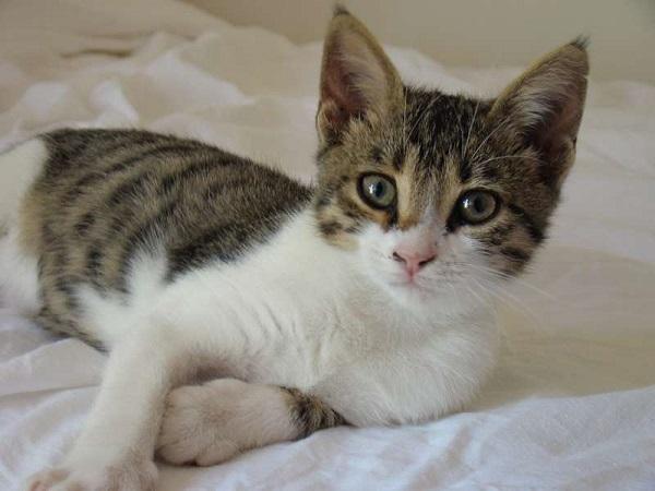 бразильская-кошка