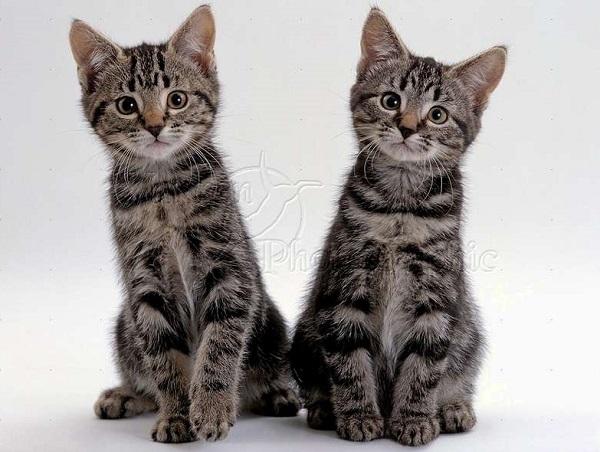 котята-азиатской-кошки