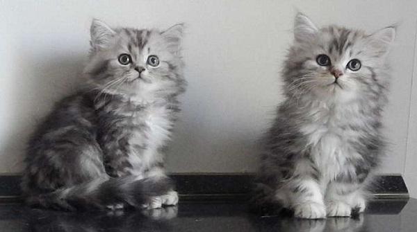 котята-британской-длинношёрстой