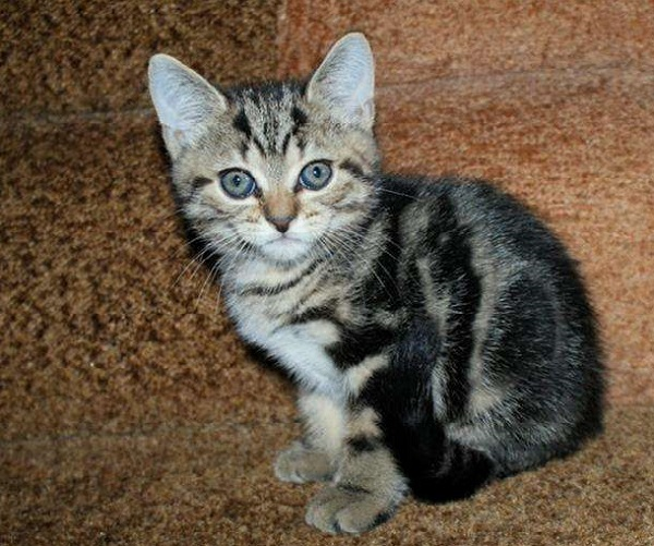 котёнок-бразильской-кошки