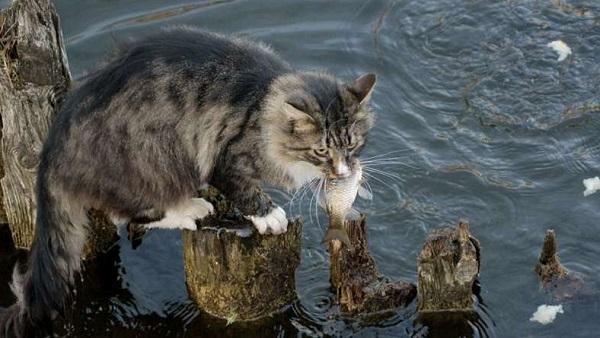 кот-ловит-рыбу