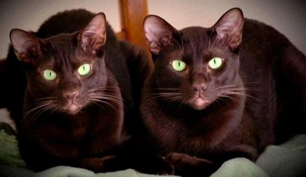 гавана-бр-2-кошки