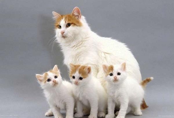 котята-турецкого-вана