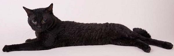 герман рекс чёрный