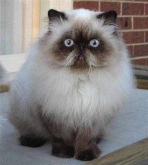 гималайская кошка главная