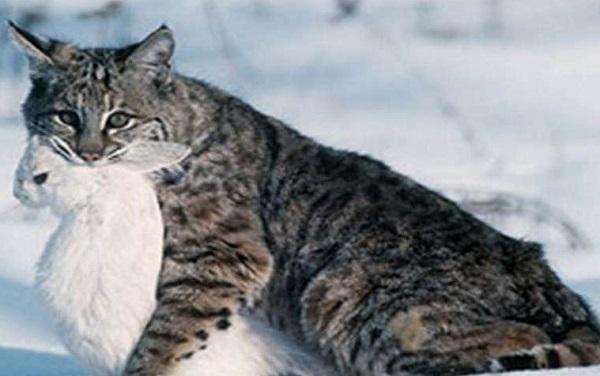 дикий кот с зайцем