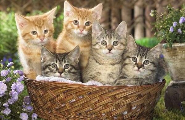 котята-домашней-кошки