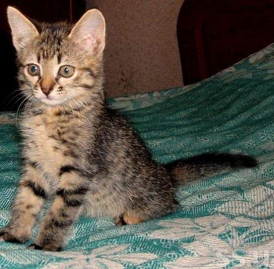 котёнок кельтской кошки