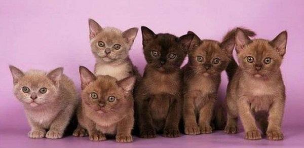 котята бурманские малайскме