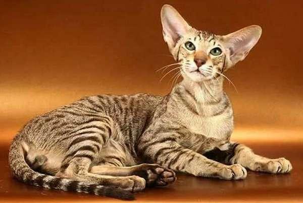 ориентальная коротк кошка
