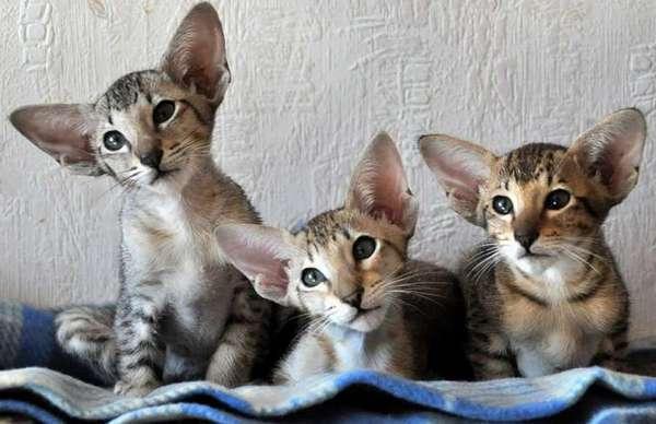 ориентальные коротк котята