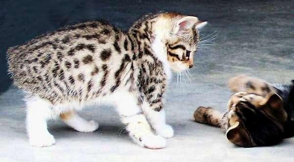 котята мэнкса
