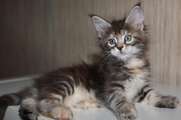 котёнок мэйнкуна
