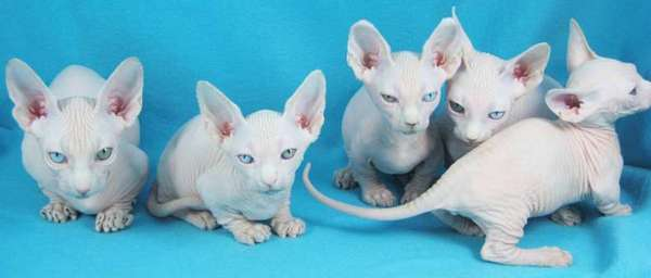 минскин котята