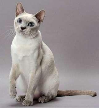 тонкийская кошка главная