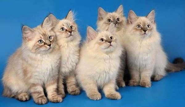 котята невской маскарадной