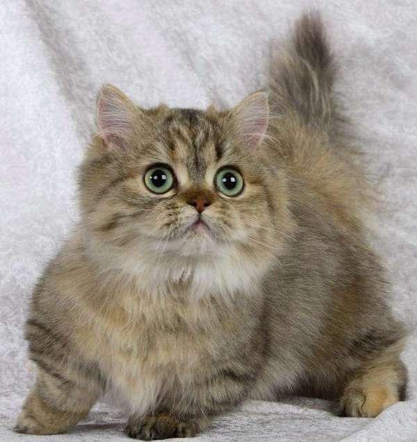 кот порооды наполеон