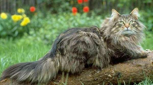 норвежская кошка на дереве