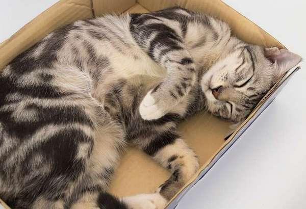 полосатый спит в коробке