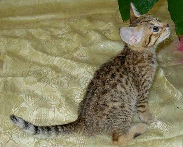 котёнок оцикет