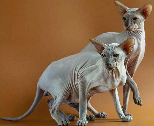 два питербуржских сфинкса