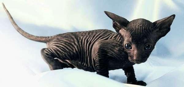 котёнок петербуржского сфинкса