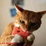 tn_кот ест арбуз