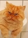 рыжий мордастый кот