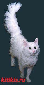 белая кошка с пушистым хвостом