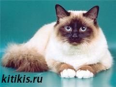 кошка Бирмы