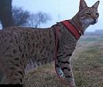 самая высокая кошка