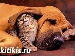 кот под ухом у собаки
