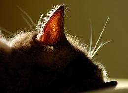 ухо кота