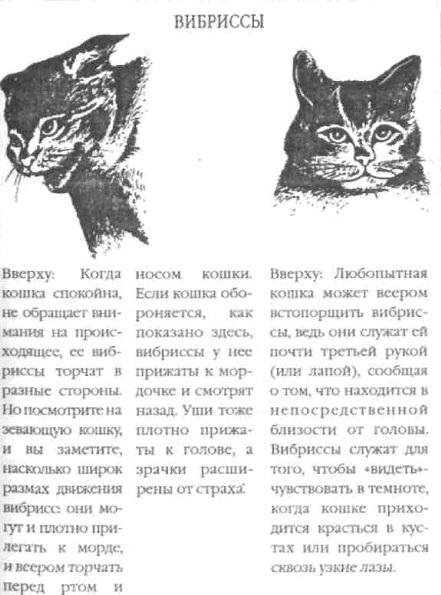 кошкины вибриссы