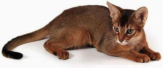 абессинская кошка